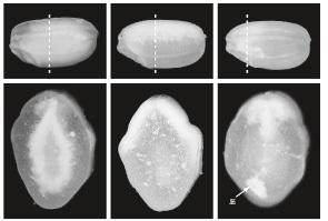 登熟の仕組みと白未熟粒の発生要因【図-2】