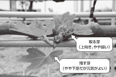 【図3】誘引の方法と結果枝の間隔