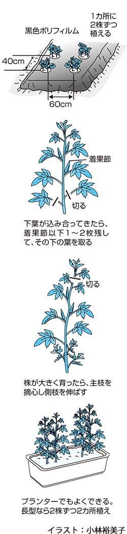 花も楽しめるオクラ