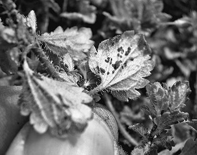 オオイヌノフグリの葉裏にいるアブラムシ